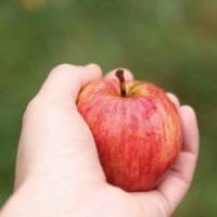 Distribution de Pommes / Poires à Amapp du Gâtinais